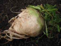 The raw root as it looks when it comes out of the ground