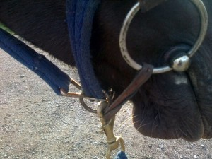 I use an old flash strap looped through both bit rings, then clip the lunge-line to both this AND the headcollar ring. This means the any pull on the rope is shared between the bit and the noseband of the headcollar and is less harsh than clipping straight to the bit.