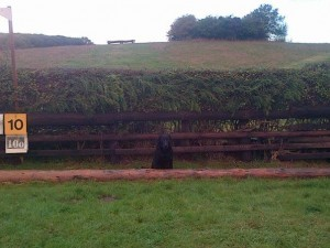 An intermediate hedge - labrador included for scale!