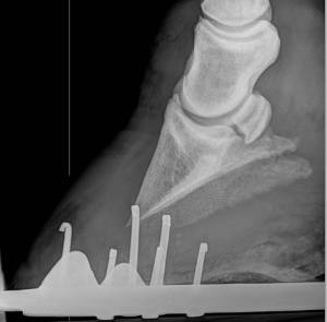 Spot the diagnosis... yup, another pony with laminitis